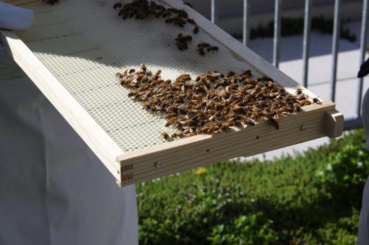 Abejas en azoteas el que siembra cosecha for Ahuyentar abejas jardin