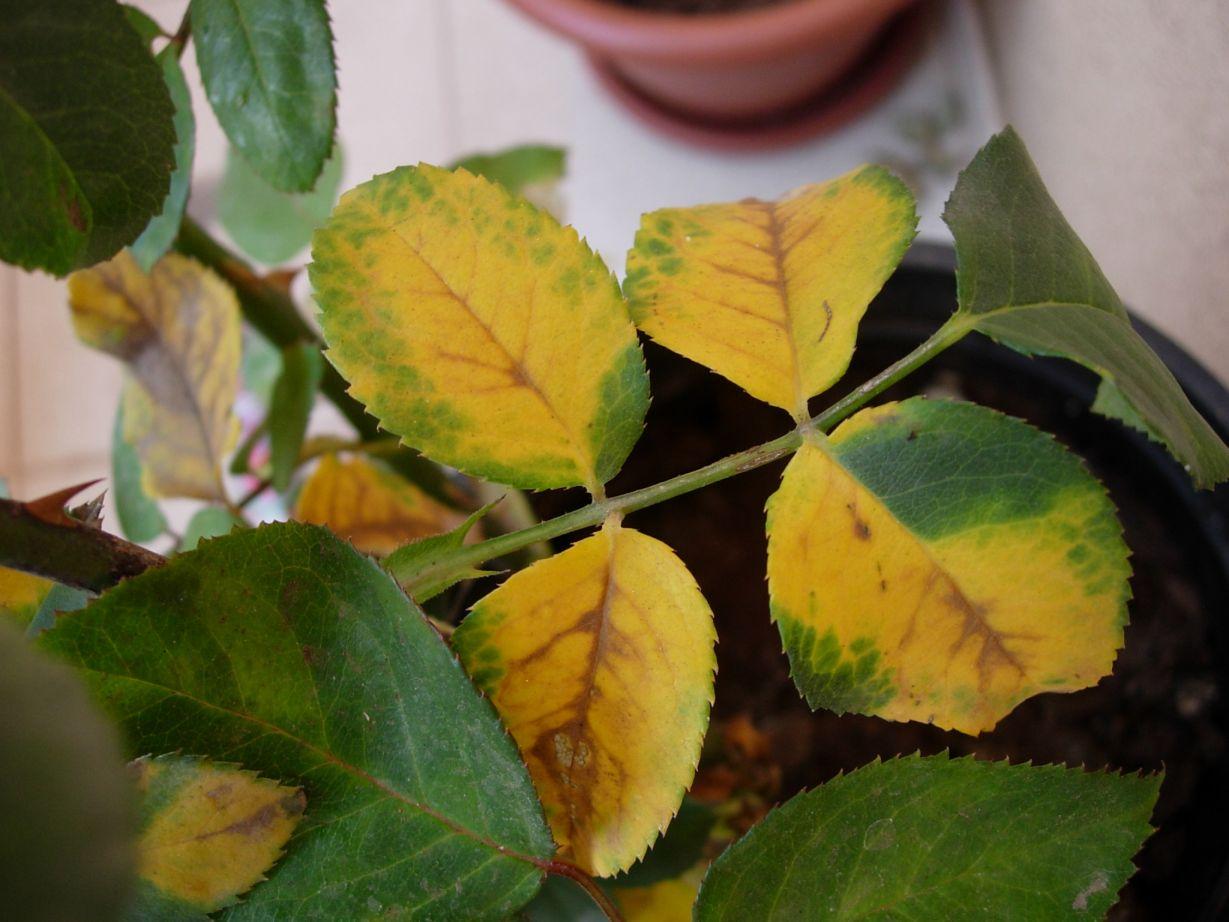 La clorosis tus plantas podr an tenerlo el que siembra for Incompatibilidad en plantas