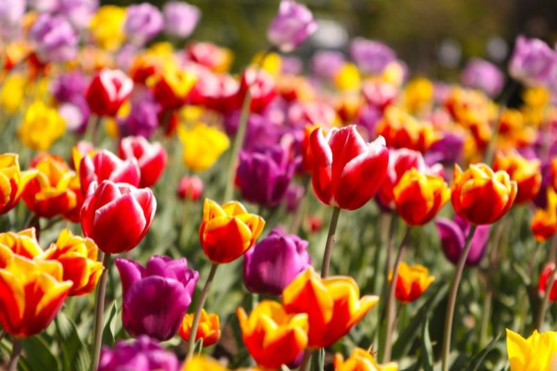 tulipanes_20111204_1917256533