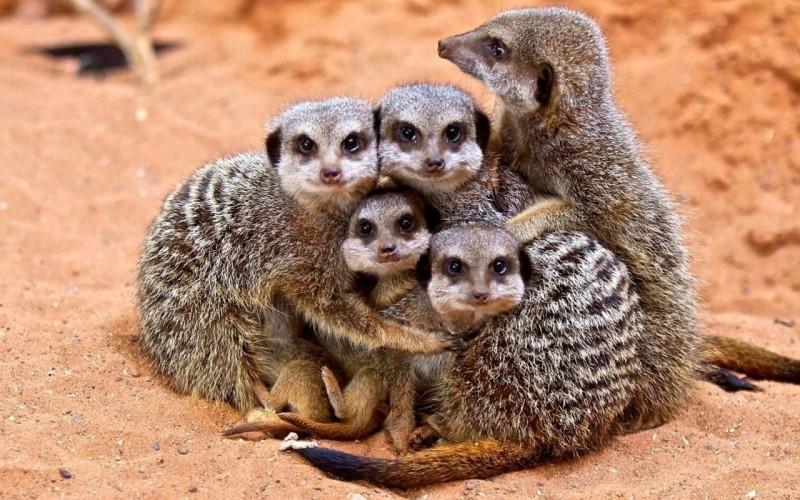 animals_family_meerkats_1280x800_67666