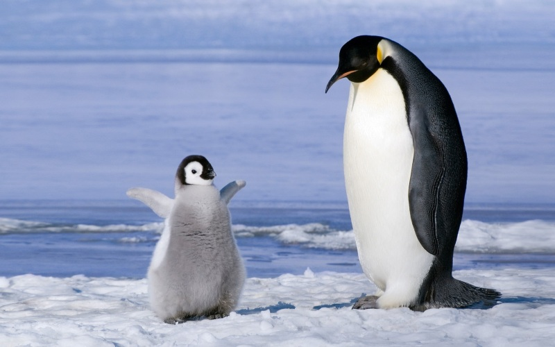family-of-penguins-background-animals-desktop-hd-iphone-ipad-wallpapers-animals-picture-penguin-wallpaper