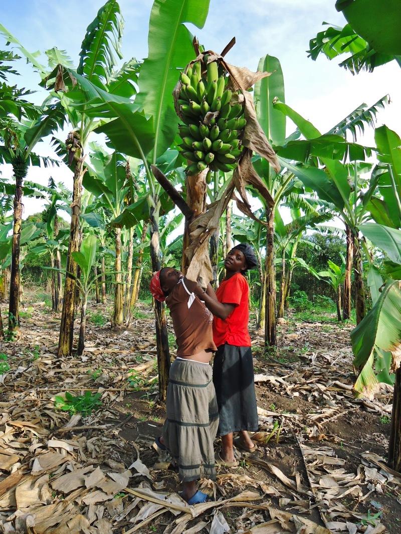 Green Bananas (2)-Cutting Tree