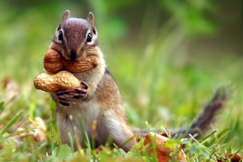 Squirrel-Nut-Cute_beautiful-nature-animals